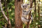 Mr. Koala im Currumbin Wildlife Sanctuary